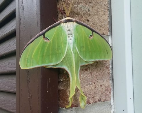 Insect, Moth, Luna Moth, Moths and butterflies, Invertebrate, Green, Larva