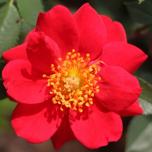 Flower, Petal, Flowering plant, Woods' rose, Plant, Rosa gallica, Rose family