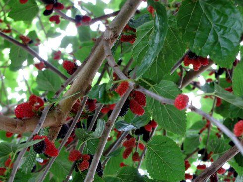 Flowering plant, Flower, Plant, Cherry, Fruit, Berry, Fruit tree, Leaf, Tree, Currant