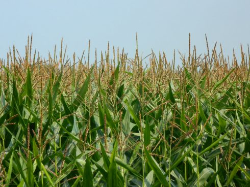 Crop, Plant, Grass, Agriculture, Cash crop, Field, Grass family
