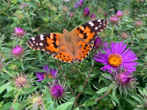 Butterfly, Cynthia (subgenus), Monarch butterfly, Insect, Brush-footed butterfly, American painted lady, Moths and butterflies, Flower, Vanessa cardui, Invertebrate