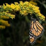 Monarch butterfly, Butterfly, Cynthia (subgenus), Viceroy (butterfly), Insect, Moths and butterflies, Invertebrate, Pollinator, Brush-footed butterfly, Plant