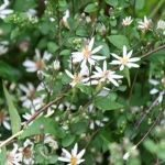 Flower, Plant, Flowering plant, white wood aster, Leaf