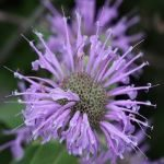 Flower, Flowering plant, Plant, Spotted knapweed, Thistle, wild horsemint