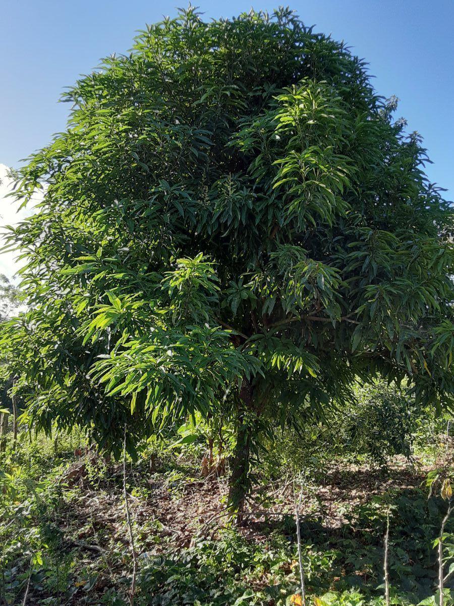 2 de 9: Arbol de mango sembrado en el terreno