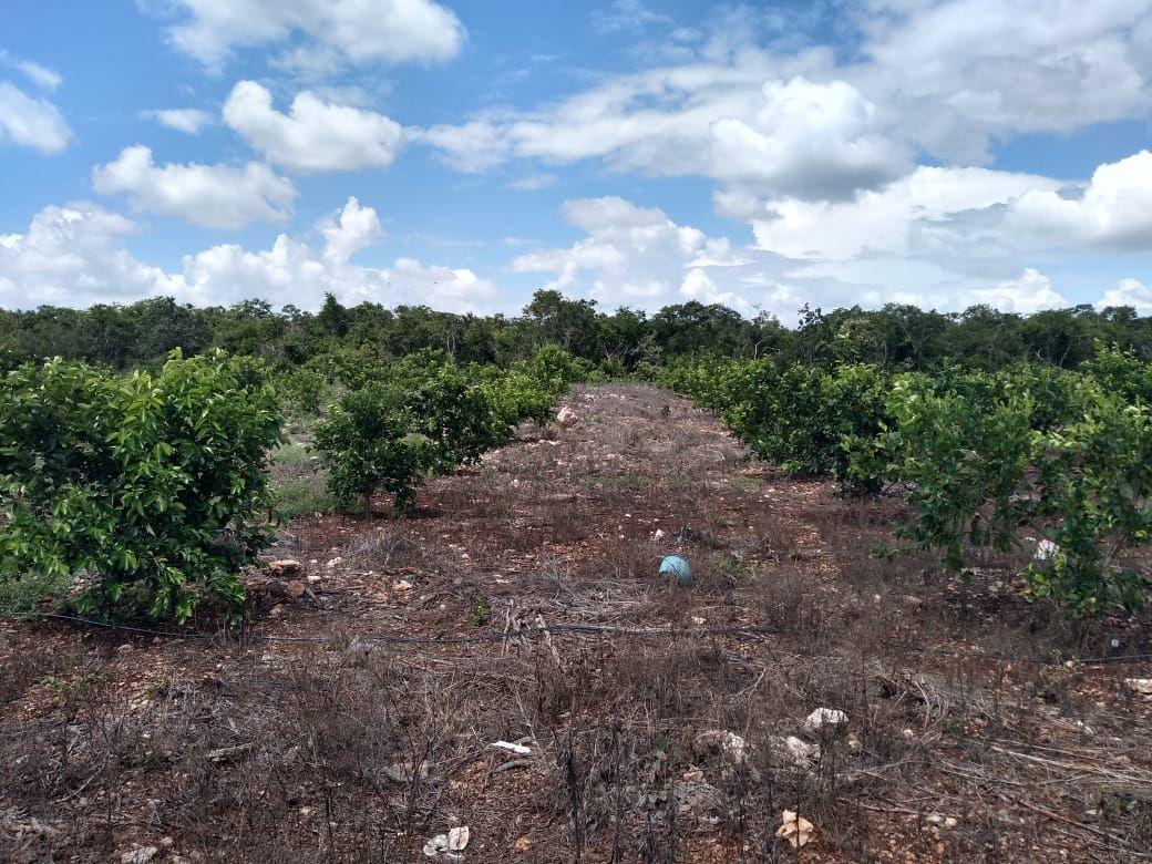 7 de 11: Mucha materia orgánica entra la plantación de cítricos