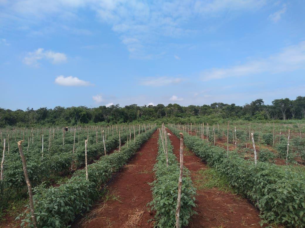 8 de 11: Cultivo de Tomate a cielo abierto.
