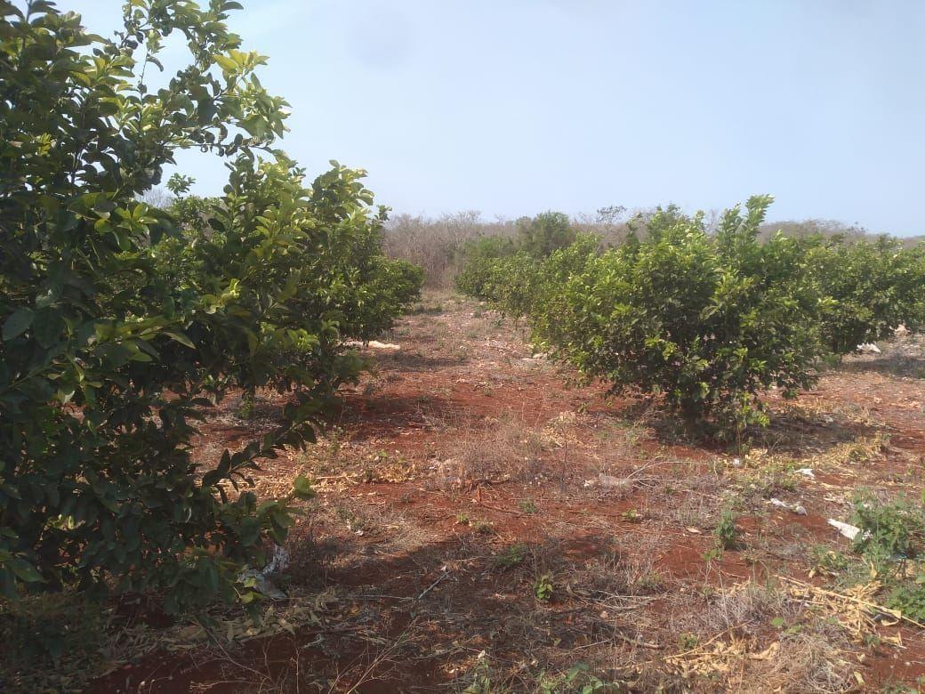 3 de 11: Plantación de Cítricos