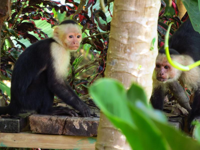26 of 33: Whiteface monkeys enjoying the bananas.