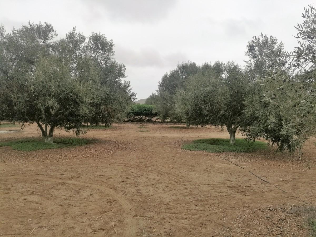 5 de 9: Olivos en plena producción