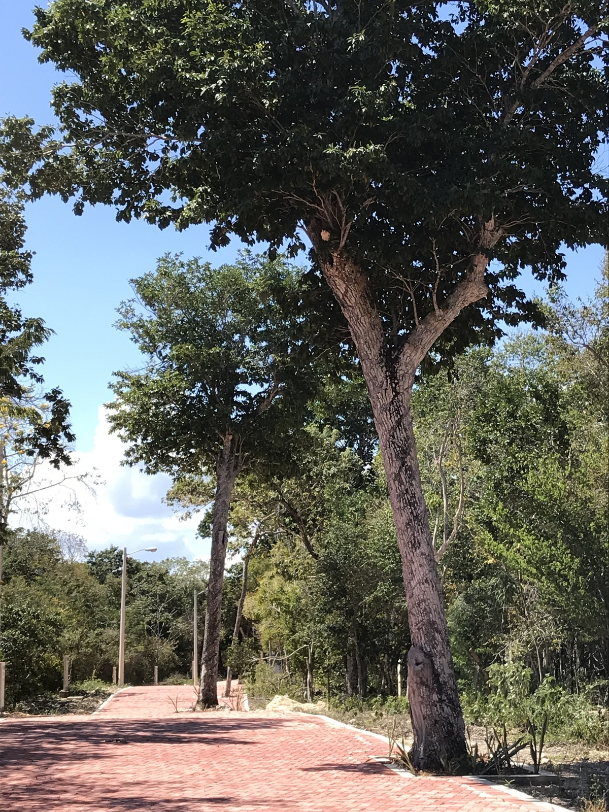 17 of 40: árbol de chico zapote