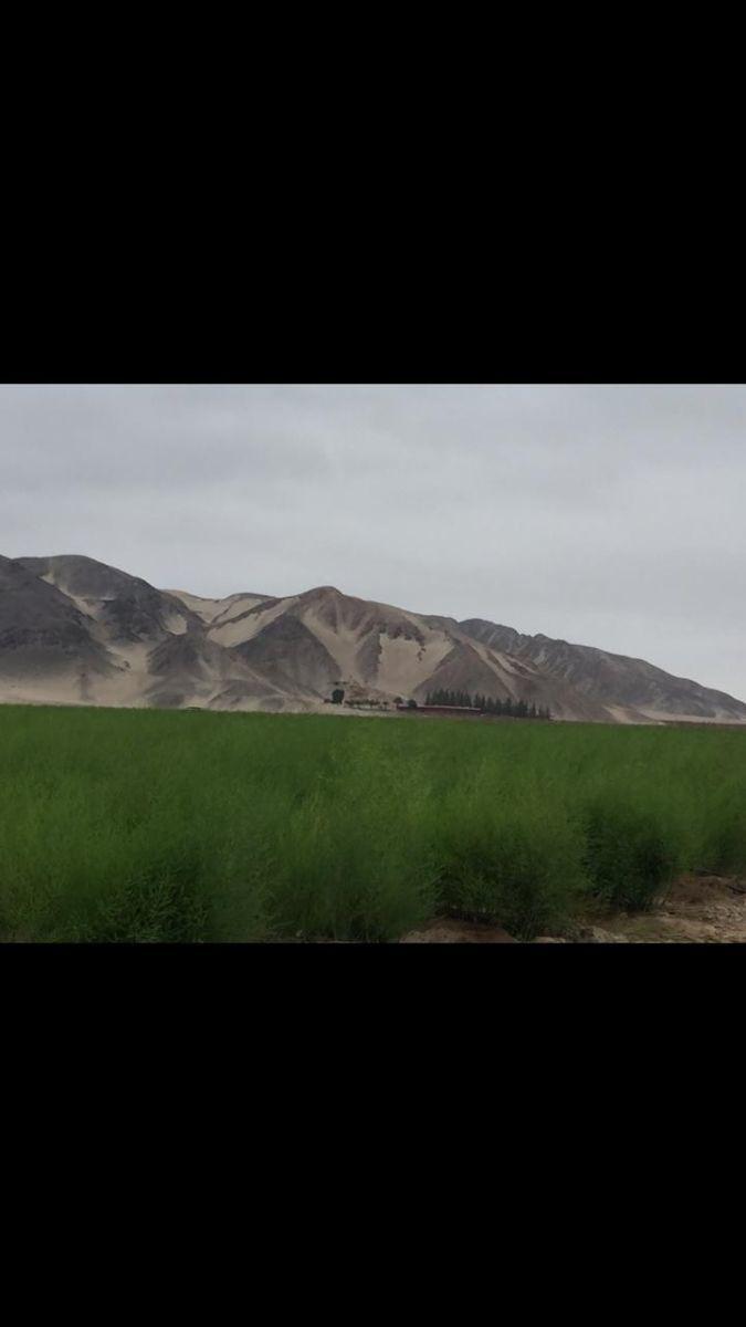 4 de 13: Plantaciones de espárrago: 50 Has