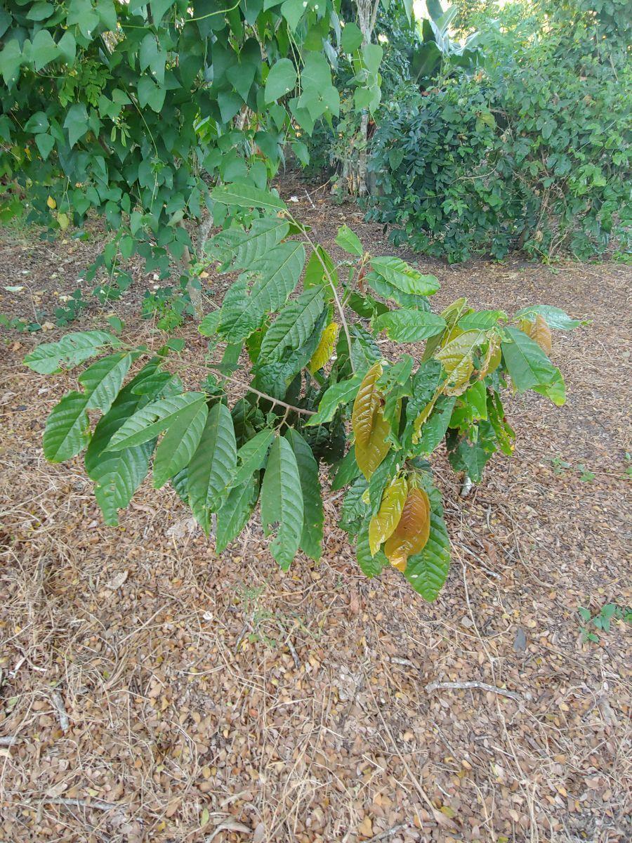 Terreno Para Agricultura Con Cacao y Platanoimage3