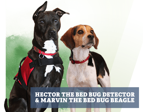 Hector The Bed Bug Detector And Marvin The Bed Bug Beagle