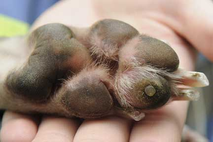 How To Treat Corns On Dogs Paws