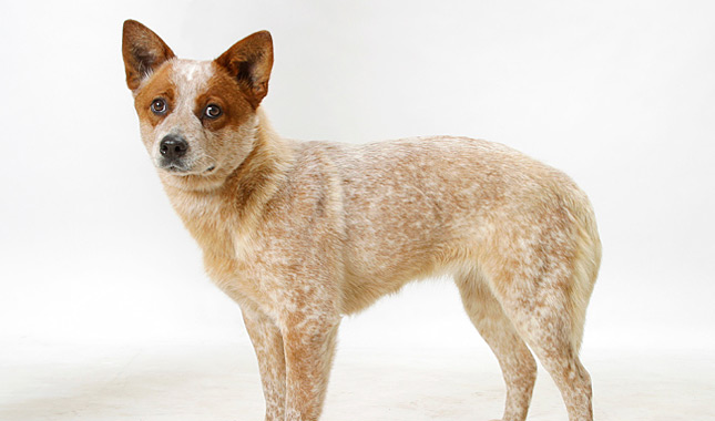 Australian Cattle Dog Breed Information