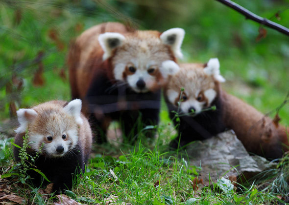 Panda Cubs Paint the Town Red at the Dublin Zoo