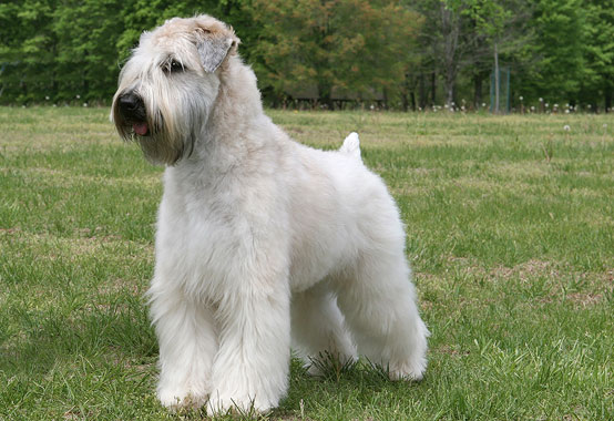soft coated wheaten terrier shedding soft coated wheaten terrier dog breed information 7796