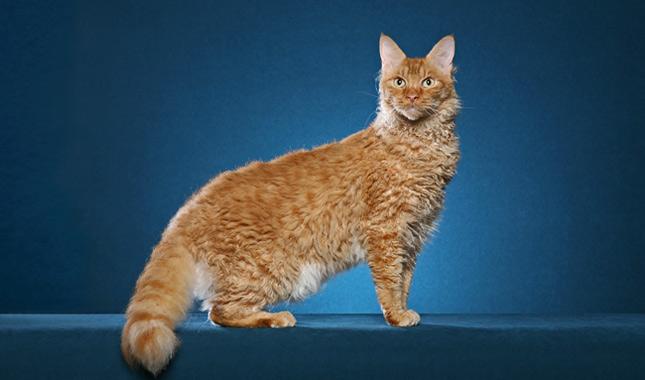 Laperm Katze