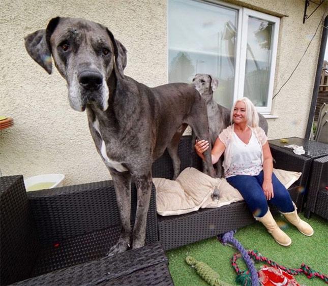 Great Dane Named World's Tallest Living Dog by Guinness World Records