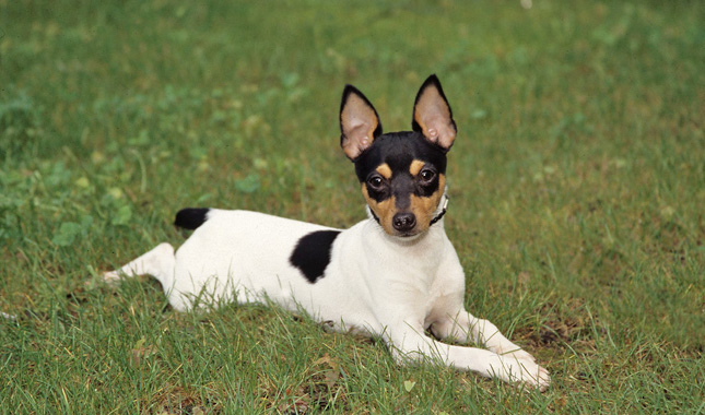 Toy Fox Terrier Dog Breed Information