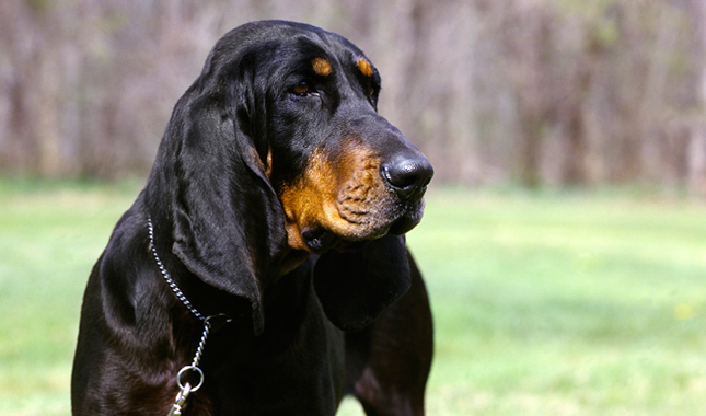 Black and Tan Coonhound Dog Breed Information - photo#5