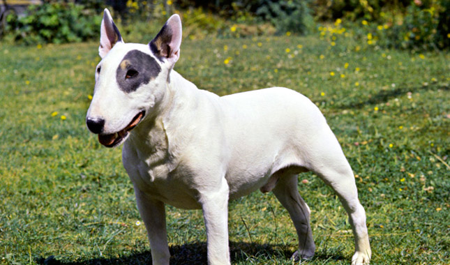 bull terrier types bull terrier breed information 5161