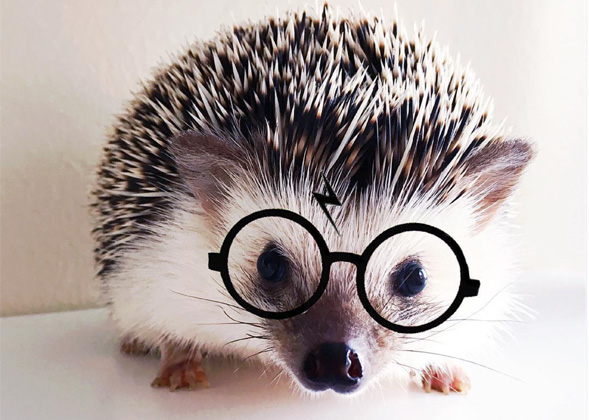 The 12 Cutest Hedgehogs On Instagram