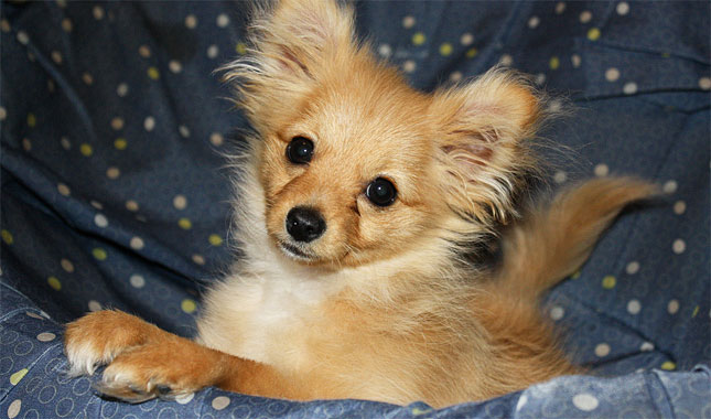 pomeranian mix with poodle pomapoo breed information 9544