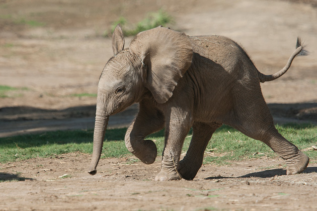 Elephant Calf Truly Lives Up To Her Name