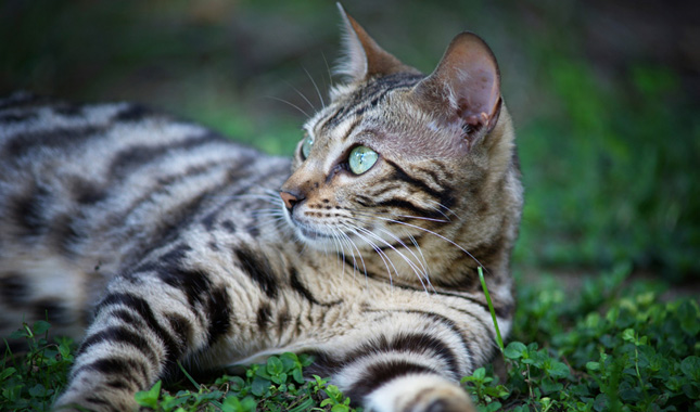 Bengal Cat Breed Information
