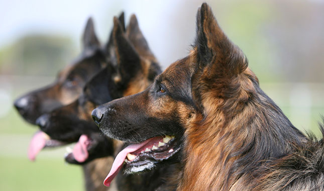 Why Are German Shepherds So Popular