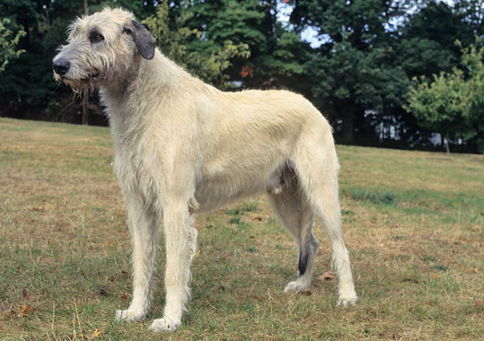 photos of irish wolfhound irish wolfhound breed information 8544