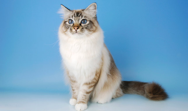 Ab Soul Eyes Birman Cat Breed Infor...