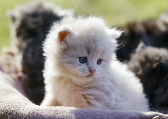 What Are The Top 10 Cat Breeds In America?