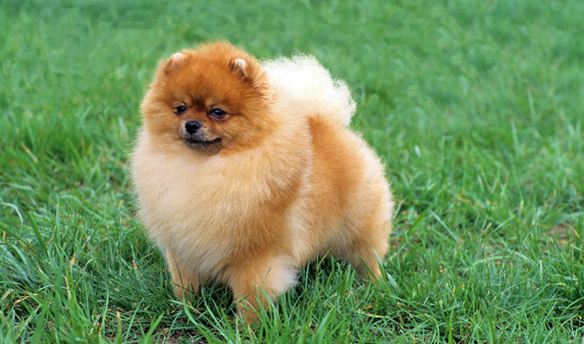teacup pomeranian life expectancy pomeranian breed information 7149