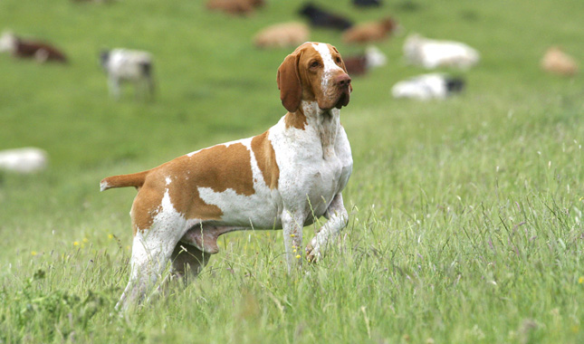 five bracco italiano dogs - photo #46