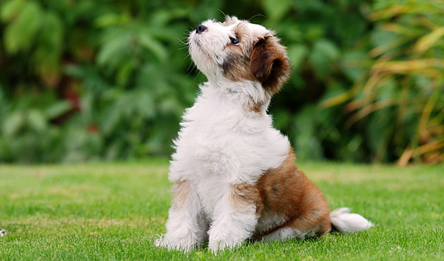 tibetano terrier tibetan terrier dog breed information 7611