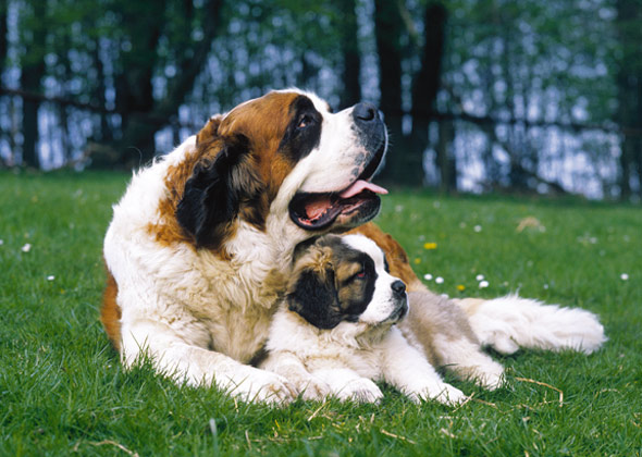Saint Bernard History: The Saint Bernard is a very old breed of dog descending primarily from the French Alps. The ancestors of the St. Bernard have a similar .