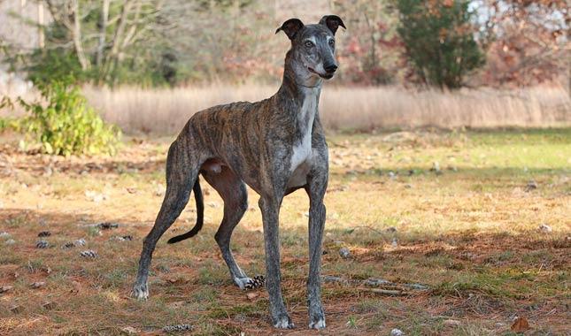Dogs On Greyhound
