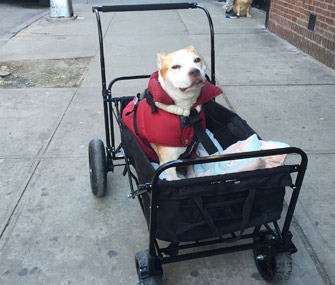 How Wagons And Strollers Can Help Your Mobility Impaired Pet