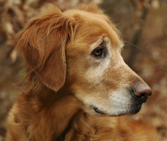Senior Dog Dementia 6 Ways To Deal With The Effects