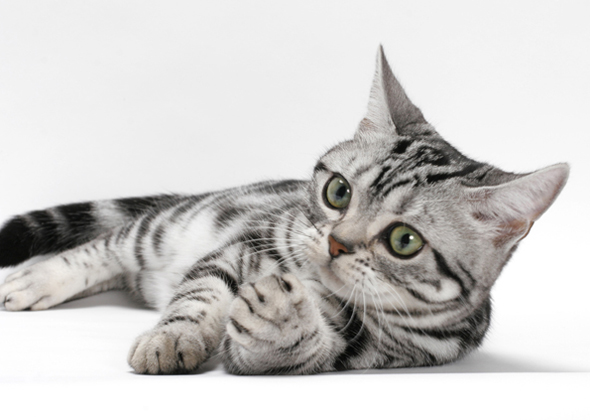 10 Cat Breeds Who Enjoy Canine Playmates