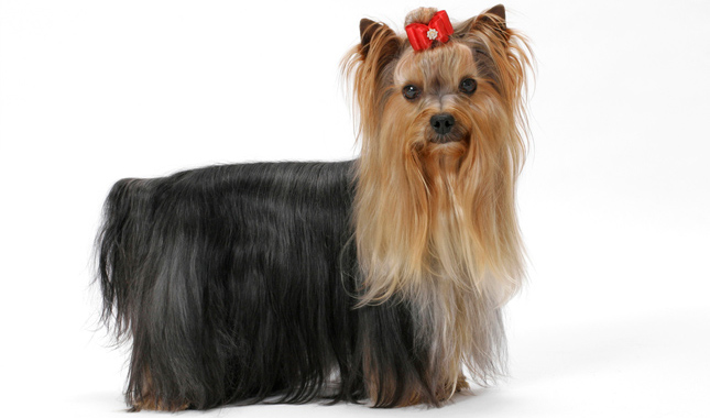 yorkie terrier breed yorkshire terrier dog breed information 3568