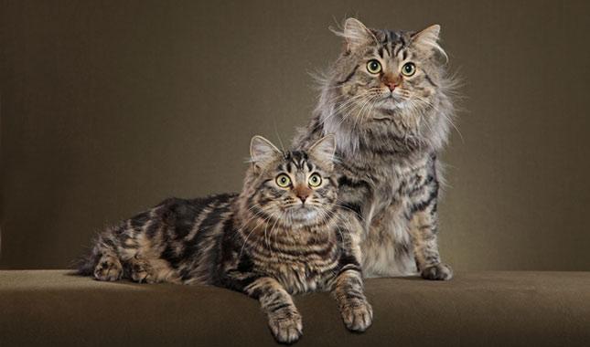 American Bobtail Cat Breed Information
