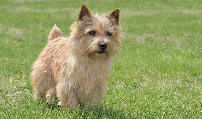 Norwich Terrier Dog Br...