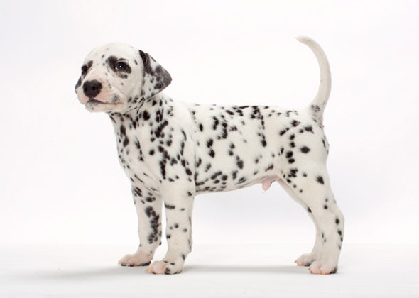 Survey 15 Dog Breeds New Pet Owners Should Avoid