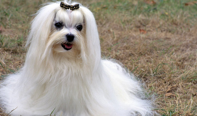 facts about maltese dogs maltese breed information 7161
