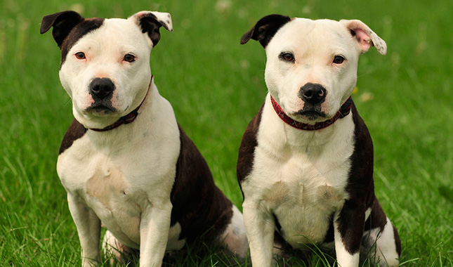 Staffordshire Bull Terrier Dog Breed Information