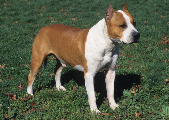 american staffordshire terrier - photo #7